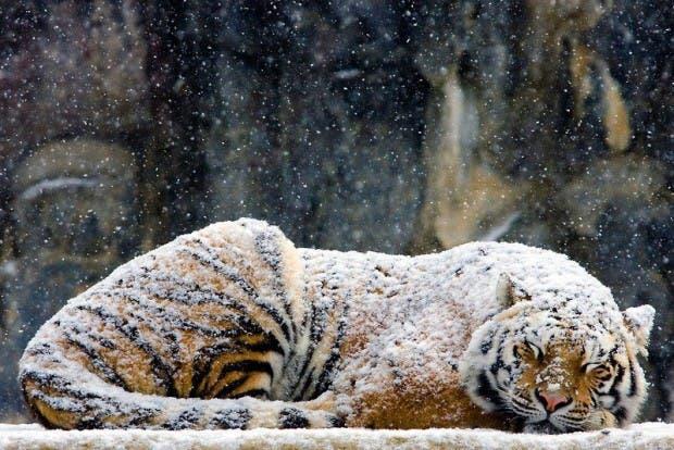 121121_tigre-de-las-nieves_resimler