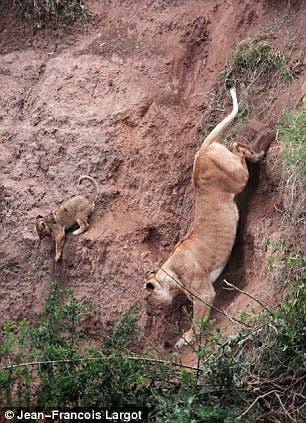 leona-acercandose-a-cachorro