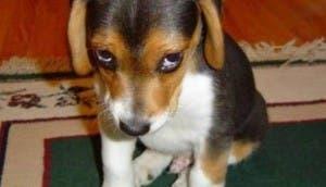 perro-carita-culpable
