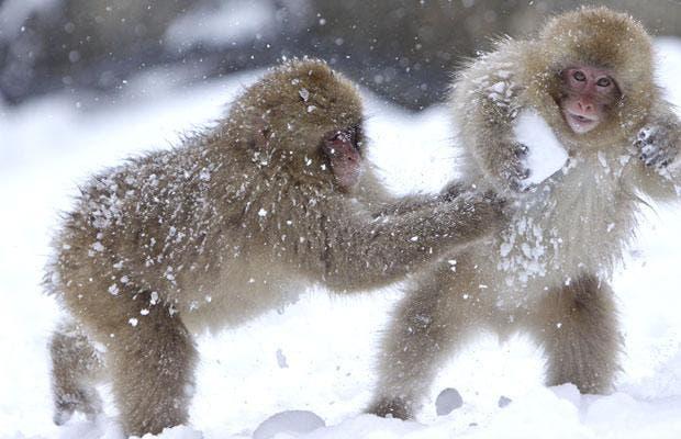 snow-monkey_1546336i