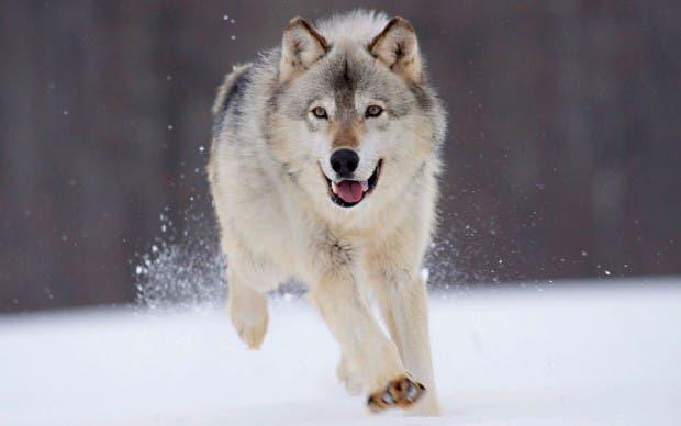 wolf-snow-winter-animals