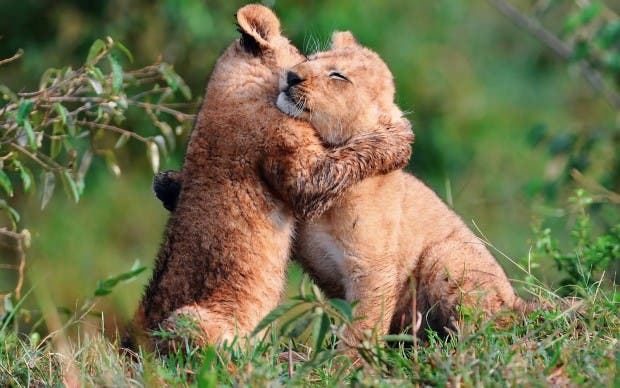 baby-lions-hug-abrazo-de-leones-amor-de-animales-