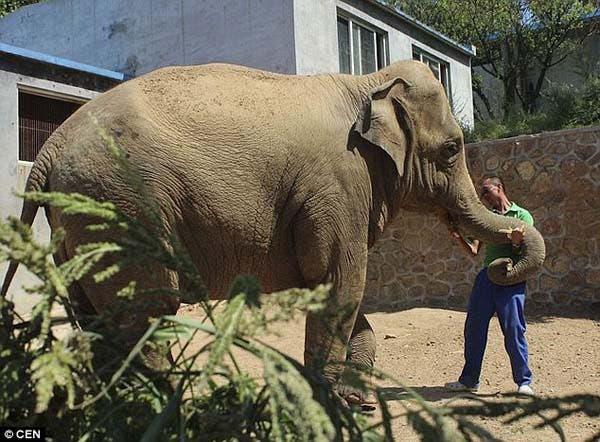 elephant-calf4