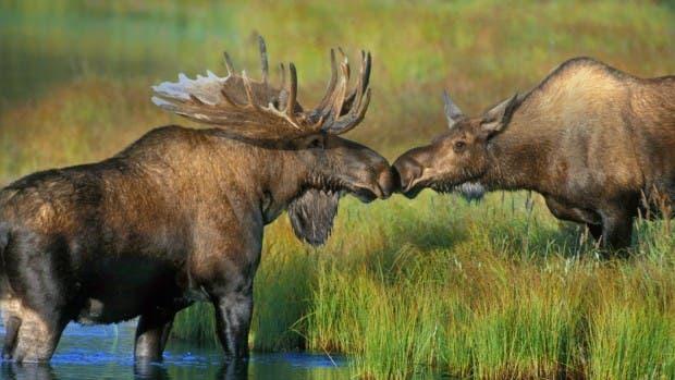 moose-kiss