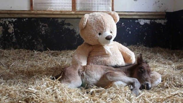 orphan-pony-sleeps-with-teddy-bear