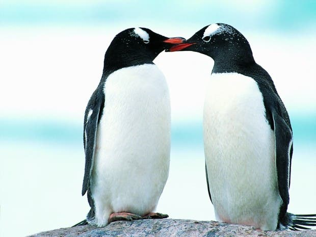 penguins-kiss