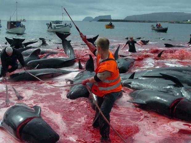 whaling-faroe-islands