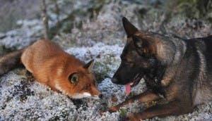 amistad-perro-zorro