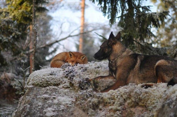 dog-fox-friendship-tinni-sniffer-torgeir-berge-berit-helberg-1