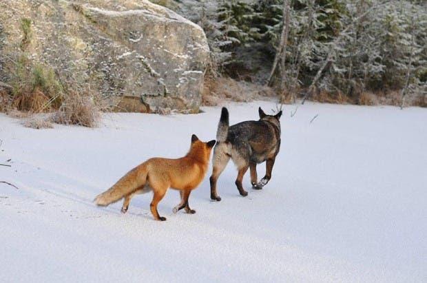 dog-fox-friendship-tinni-sniffer-torgeir-berge-berit-helberg-10