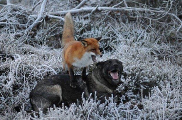 dog-fox-friendship-tinni-sniffer-torgeir-berge-berit-helberg-13