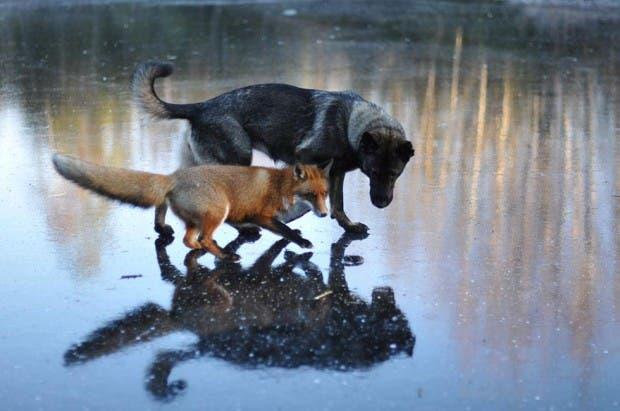 dog-fox-friendship-tinni-sniffer-torgeir-berge-berit-helberg-14