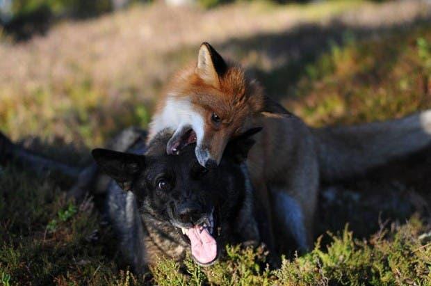 dog-fox-friendship-tinni-sniffer-torgeir-berge-berit-helberg-16