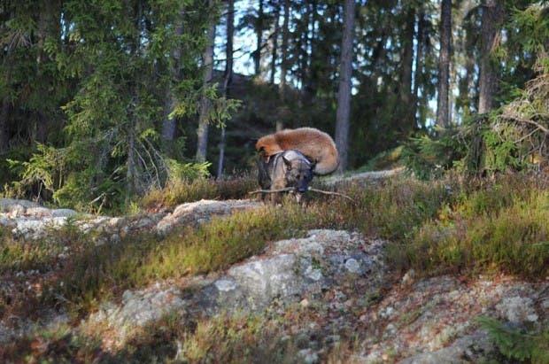 dog-fox-friendship-tinni-sniffer-torgeir-berge-berit-helberg-17