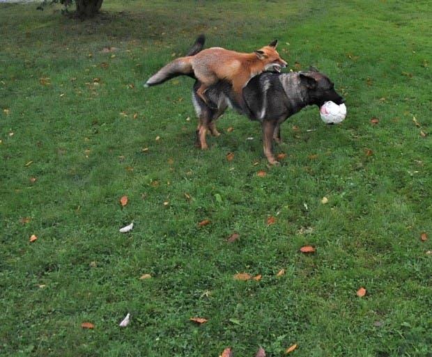 dog-fox-friendship-tinni-sniffer-torgeir-berge-berit-helberg-18