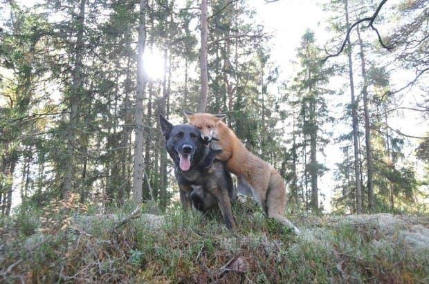 dog-fox-friendship-tinni-sniffer-torgeir-berge-berit-helberg-19