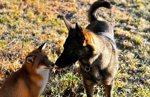 dog-fox-friendship-tinni-sniffer-torgeir-berge-berit-helberg-21