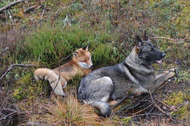 dog-fox-friendship-tinni-sniffer-torgeir-berge-berit-helberg-22