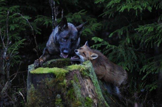 dog-fox-friendship-tinni-sniffer-torgeir-berge-berit-helberg-23