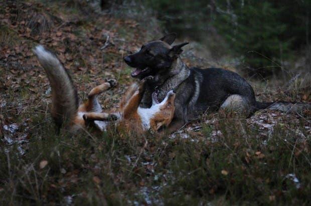 dog-fox-friendship-tinni-sniffer-torgeir-berge-berit-helberg-3