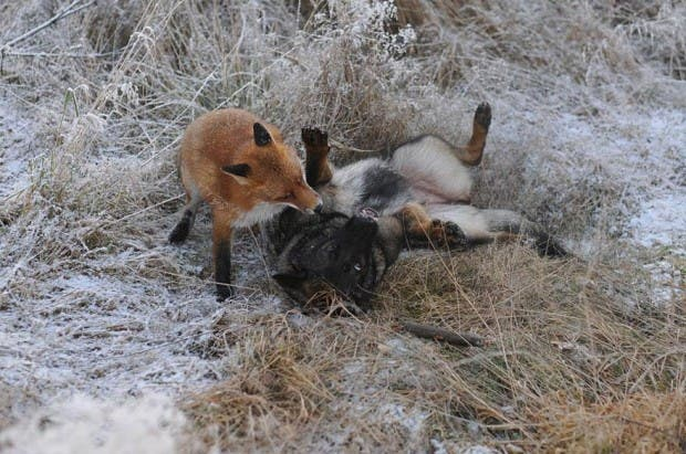 dog-fox-friendship-tinni-sniffer-torgeir-berge-berit-helberg-6