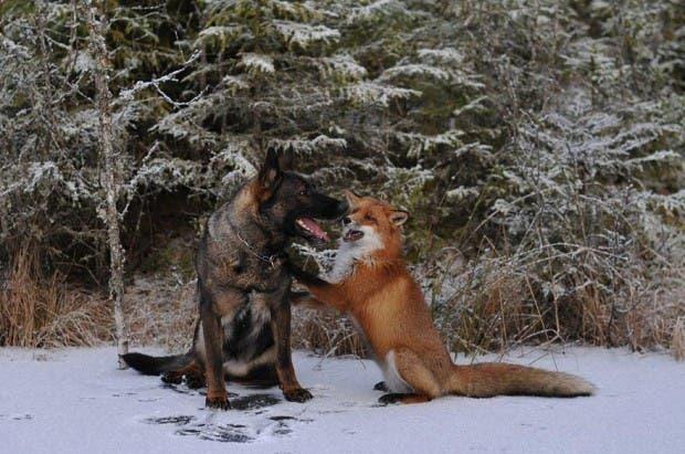 dog-fox-friendship-tinni-sniffer-torgeir-berge-berit-helberg-9