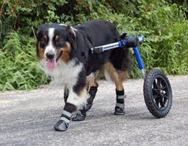 handicapped-dog