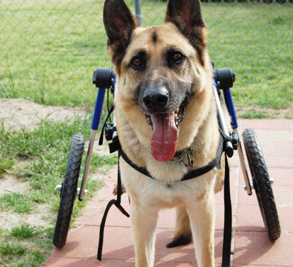 handicapped-dog10