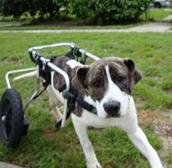 handicapped-dog11