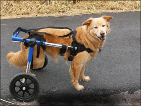 handicapped-dog12