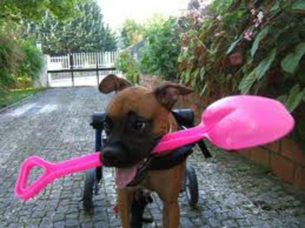 handicapped-dog13