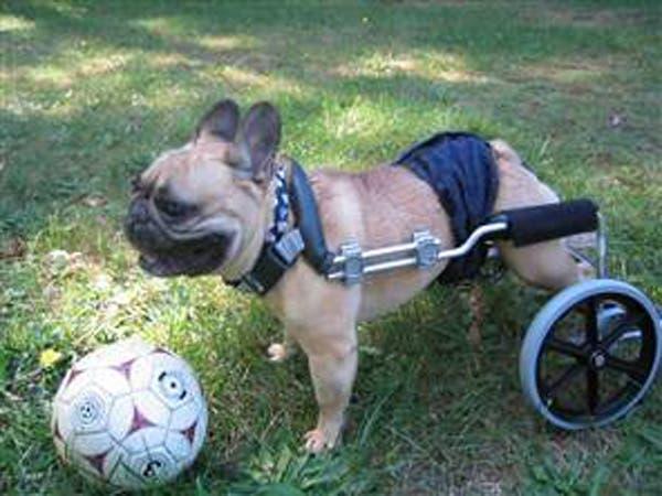 handicapped-dog2