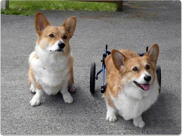 handicapped-dog3