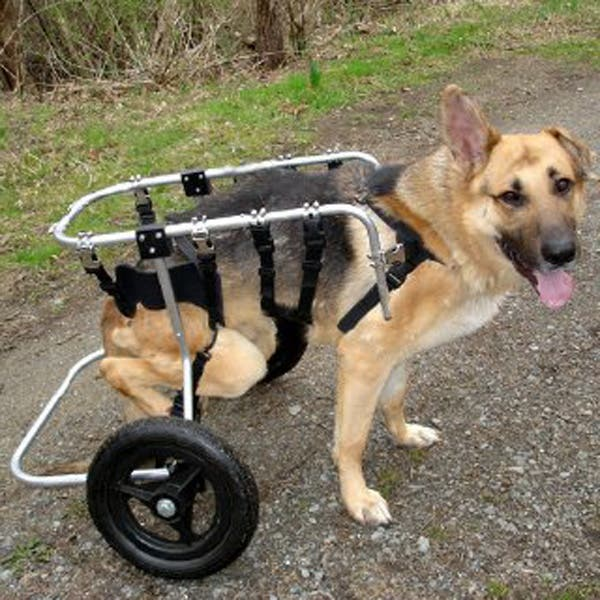 handicapped-dog4