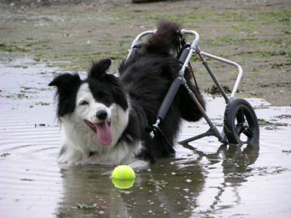 handicapped-dog7