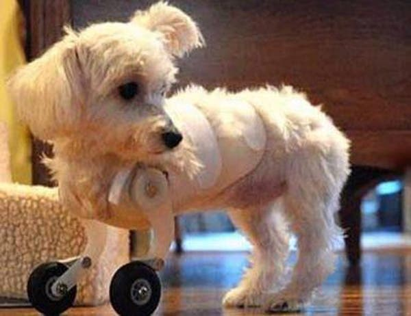 handicapped-dog8