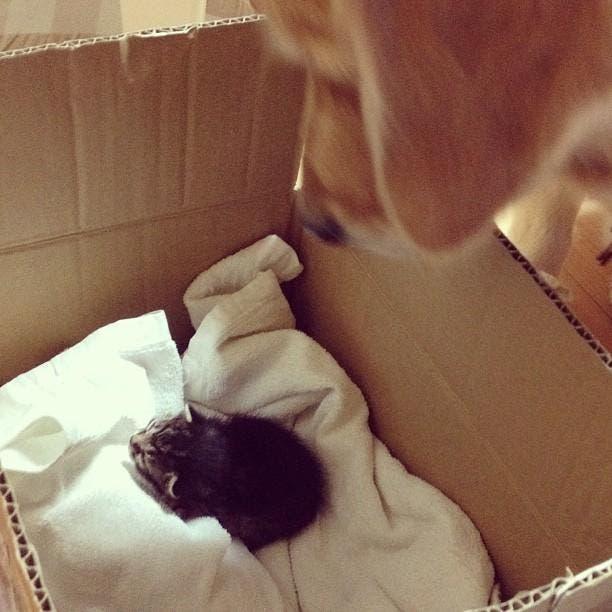 kitten-rescued-golden-retriever-ichimi-ponzu-jessiepon-15