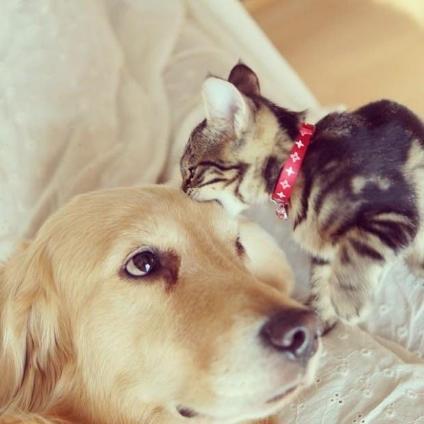kitten-rescued-golden-retriever-ichimi-ponzu-jessiepon-18