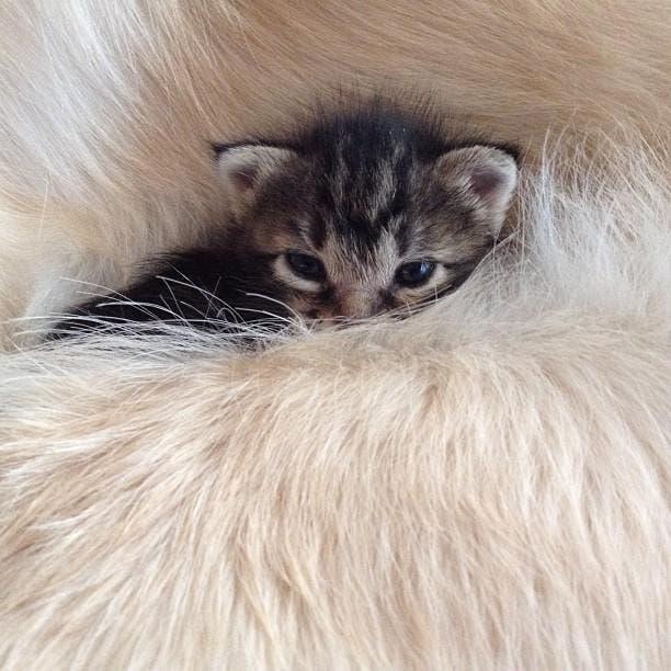 kitten-rescued-golden-retriever-ichimi-ponzu-jessiepon-2