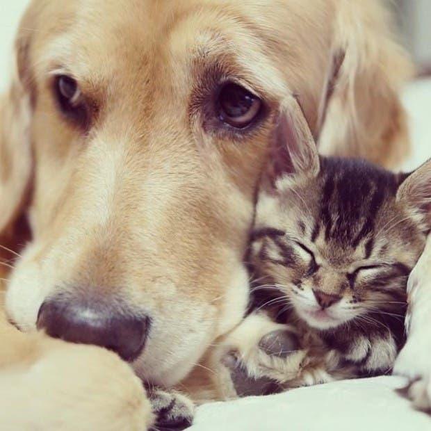 kitten-rescued-golden-retriever-ichimi-ponzu-jessiepon-22