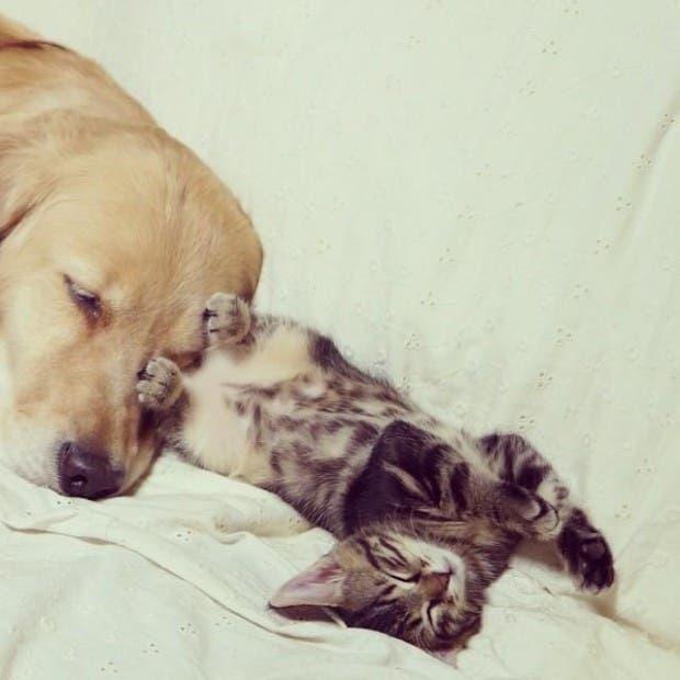 kitten-rescued-golden-retriever-ichimi-ponzu-jessiepon-4
