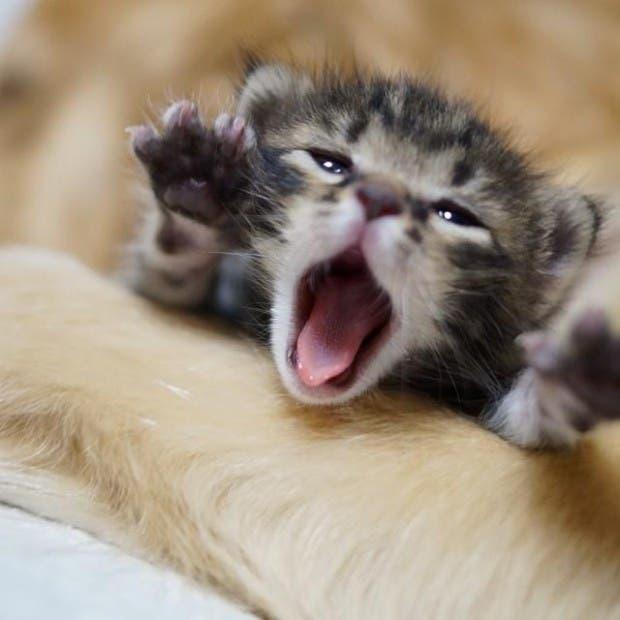 kitten-rescued-golden-retriever-ichimi-ponzu-jessiepon-6