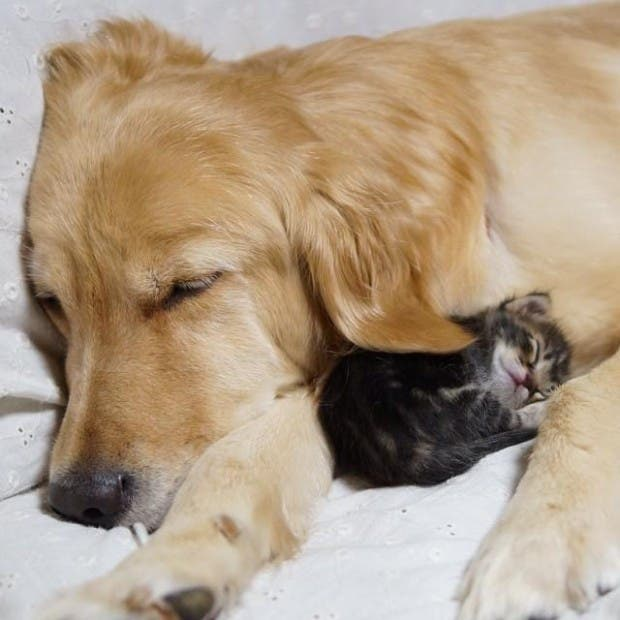 kitten-rescued-golden-retriever-ichimi-ponzu-jessiepon-9