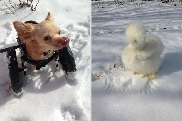 penny-chicken-roo-chihuahua-cute-friendship-24