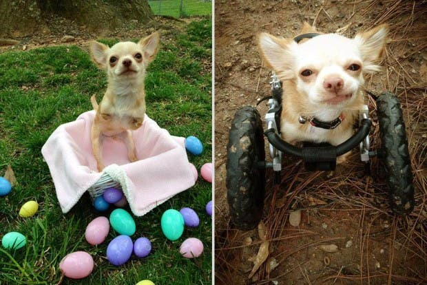 penny-chicken-roo-chihuahua-cute-friendship-3(1)