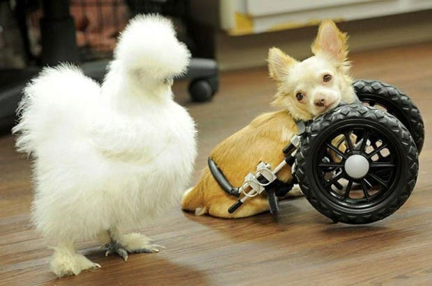penny-chicken-roo-chihuahua-cute-friendship-33