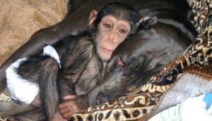 perrita-acoge-chimpance