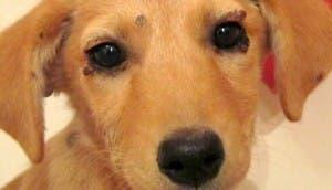 perrito-con-pulgas-rescatado