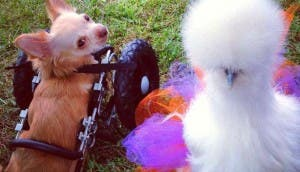 perro-gallina-amigos