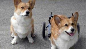 perros-discapacitados